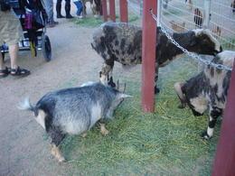 Petting Zoo, World Traveler - July 2011