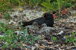 During are hike along the shore we came across a Sooty Oystercatcher and her two chicks. , Shawn A - December 2015