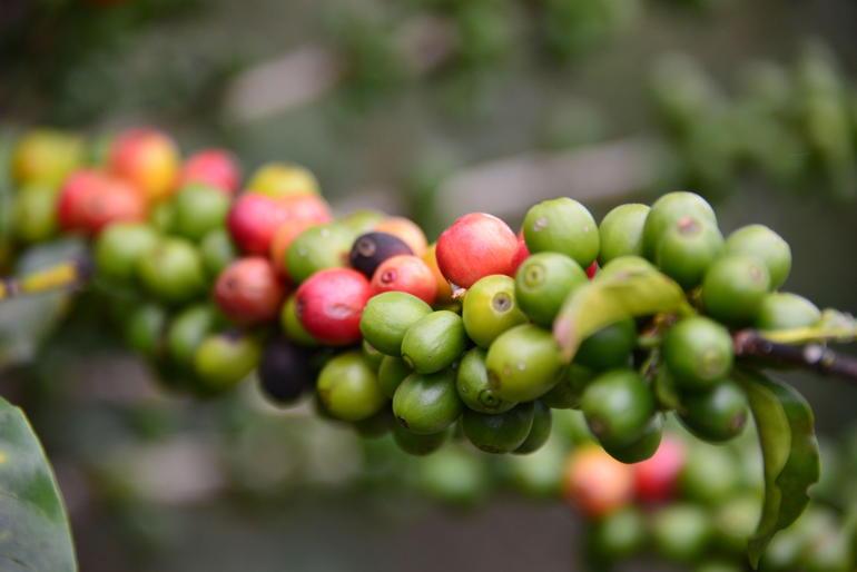 plantes-olives-cafe-nature