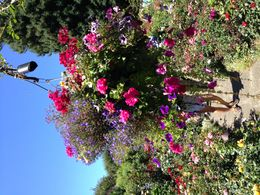 One of the hundreds of beautiful hanging baskets in the gardens , Patricia K - August 2015