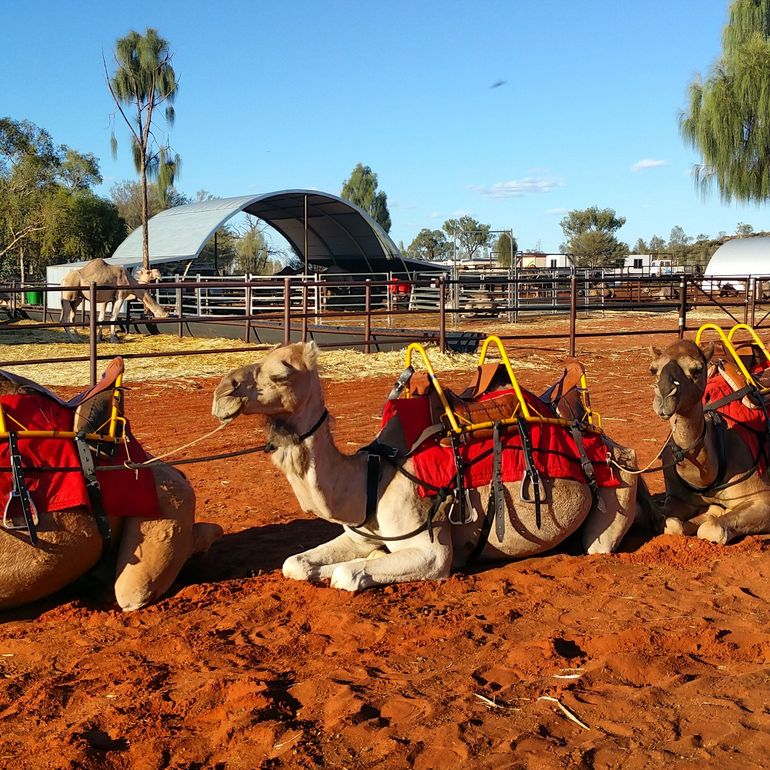 Uluru Camel Express, Sunrise or Sunset Tours photo 19