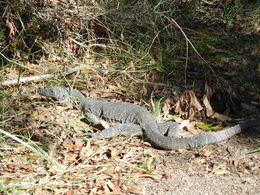 This iguana was a real pro and stayed really still for us to get some pics :- , Els D - August 2015