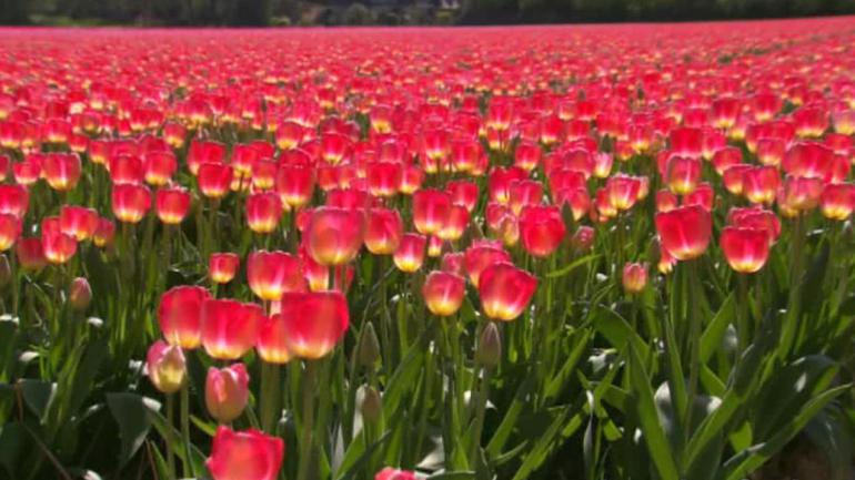 Keukenhof Gardens and Tulip Fields Tour from Amsterdam - Amsterdam