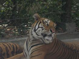 The tigers do look bigger when you get closer., Duncan E - February 2009