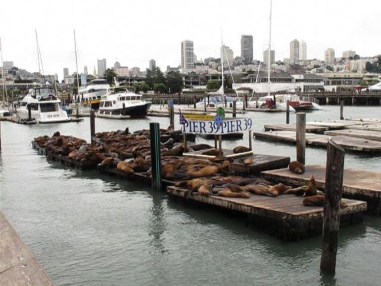 Sea Lions - San Francisco