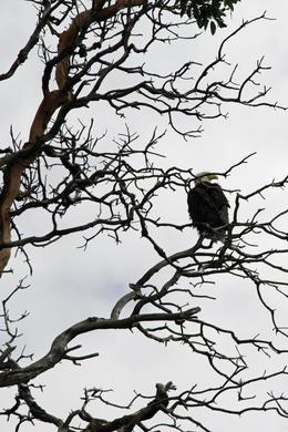 Bald Eagle , Early E - August 2017