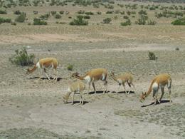 Vicunas herd - May 2013