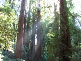 Sunshine through the trees in Muir Woods, Alison B - October 2010