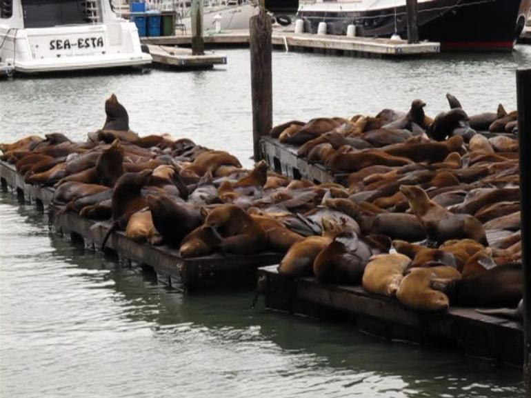 Sea Lions - San Francisco