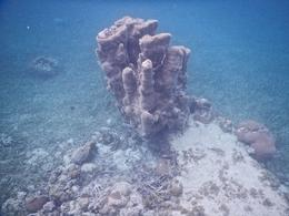 Tower coral , David H - September 2014