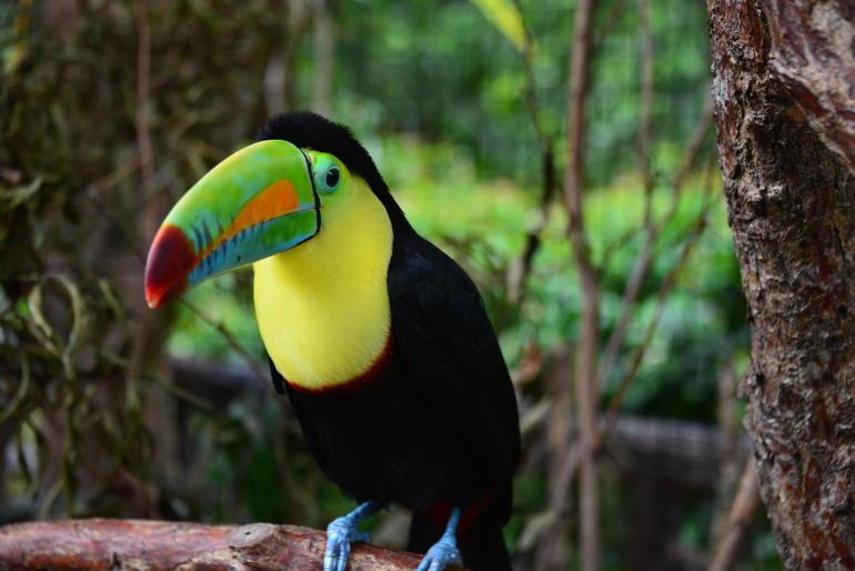 toucan-multicouleurs-oiseaux-costa-rica