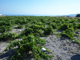 These vineyards withstand the strong winds that are sometimes encountered in Santorini , Paul S - July 2015