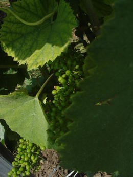Beautiful green glossy leaves and grapes tendered with love and care , Carol C - August 2013