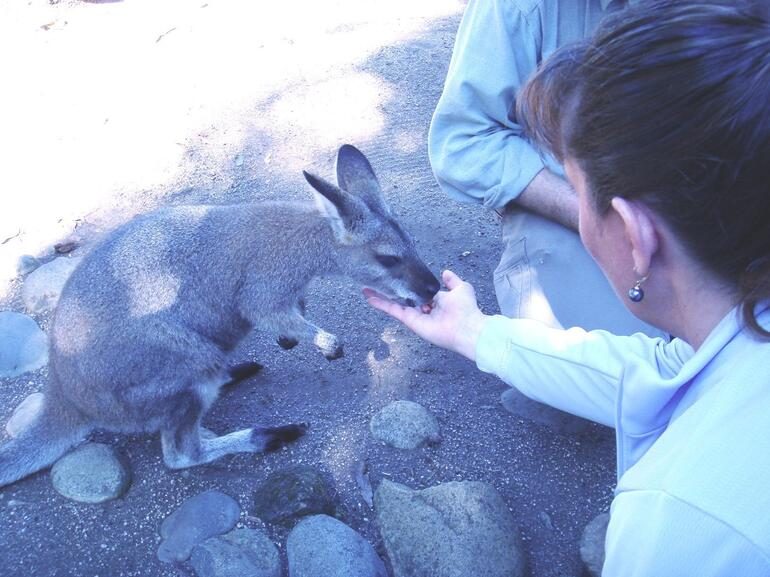 Feeding a Wallaby - Sydney
