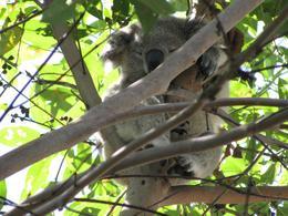 Koala Bear., Jordan B - April 2008