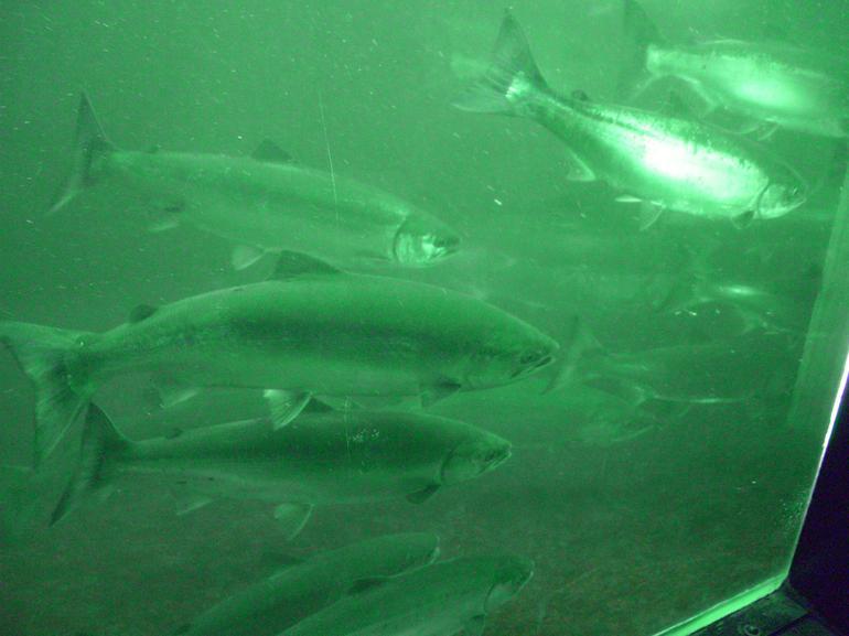 Fish ladder exhibit at Ballard (Chittenden) Locks, Seattle - Seattle