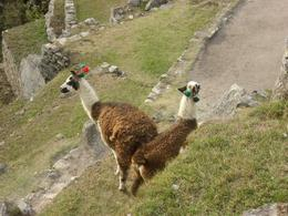 Part of the family of llamas that live at Machu Picchu., Bandit - December 2010