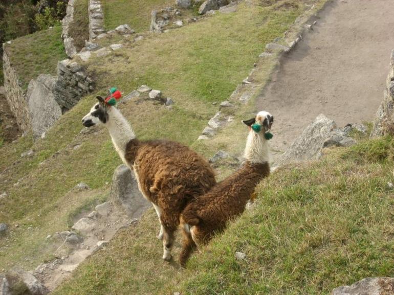 Llamas at Machu Picchu - Cusco