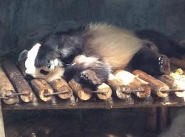 sleepy panda at shenzhen animal park , Christina M - February 2017