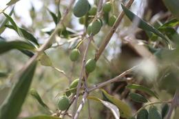Olive trees at Fattoria Poggio Alloro , Eric D - August 2017