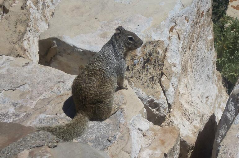 Another squirrel - Las Vegas