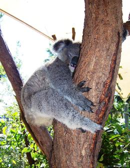 We were able to get into the Koala pens and get up close to these cute creatures as part of our Wild Australia Experience tour. - May 2009