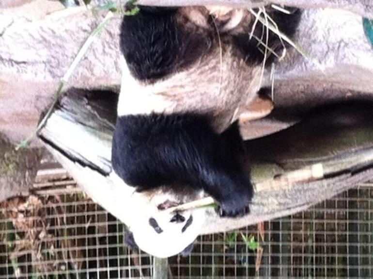 Cute Panda - San Diego