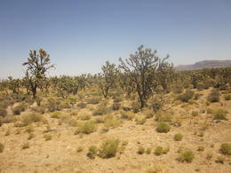 Here are some Joshua trees that we saw on the tour, while we are in route to Grand Canyon. , Darlene G - June 2013