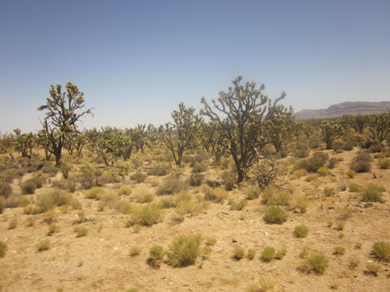 Joshua Trees - Las Vegas