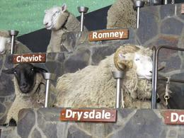 A beautifully corny introduction to the world of merinos, Drysdales and Romneys. - May 2010