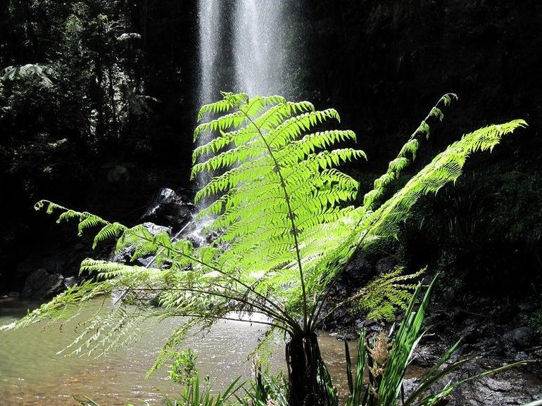 Typical rainforest tree - Brisbane