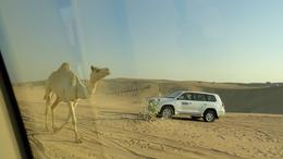 Wild camels around us , adi_amp@yahoo.com - February 2014