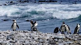 African penguins on Robben Island. , keligyrl - November 2016