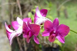 Orchid in Valley Garden , Edward Y - March 2017