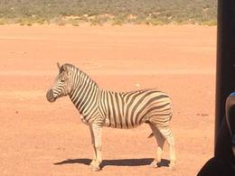 Zebra , Steven B - October 2017