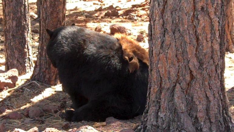 Bearizona Drive-thru Wildlife Park - Grand Canyon National Park