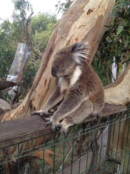 Koala napping, what they do best !!! , Holly N - March 2012