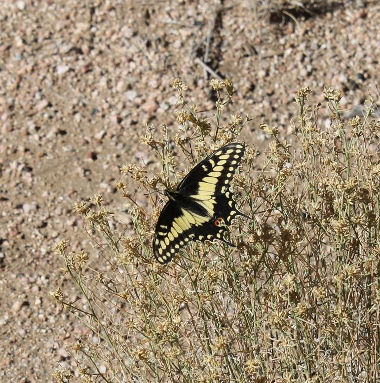 Grand Canyon butterfly - Las Vegas