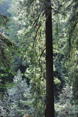 Beautiful redwoods, Sam B! - April 2014