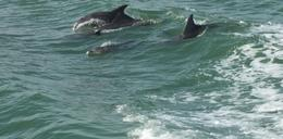 Dolphins playing in the wake of the boat , Ray P - January 2013