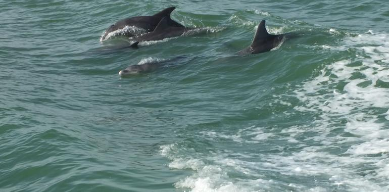 Dolphins playing in the wake of the boat - Clearwater
