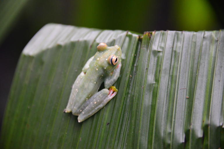grenouille-feuille-animaux-jungle