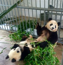 Panda Play Time , doug - August 2016