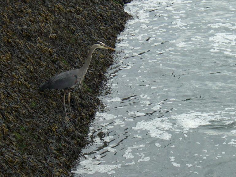 Heron at Ballard (Chittenden) Locks, Seattle - Seattle