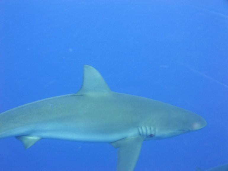 shark dive 017 - Oahu