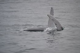 We saw four whales showing off for us by waving, splashing their tales, and breaching. , Shannon O - August 2015