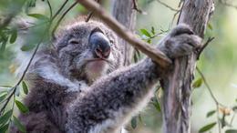 Wild Koala , Richard E - January 2017