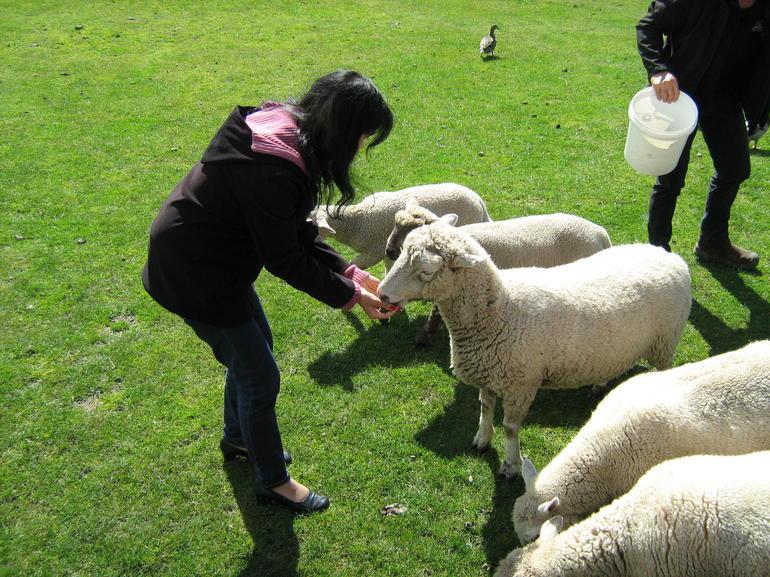 des-visiteurs-font-nourrir-un-troupe-de-mouton-rotorua