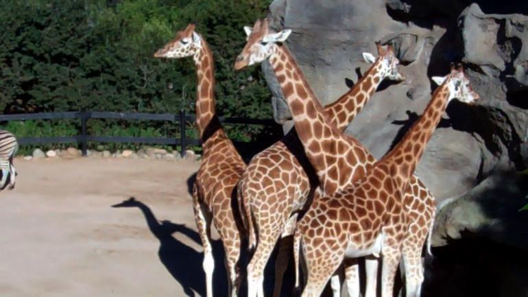 Giraffes, Taronga Zoo - Sydney