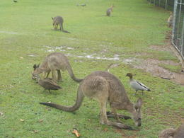 Highlight was the kangaroo area where we can mingle with them (just watch out where you step!) , grewik - December 2014